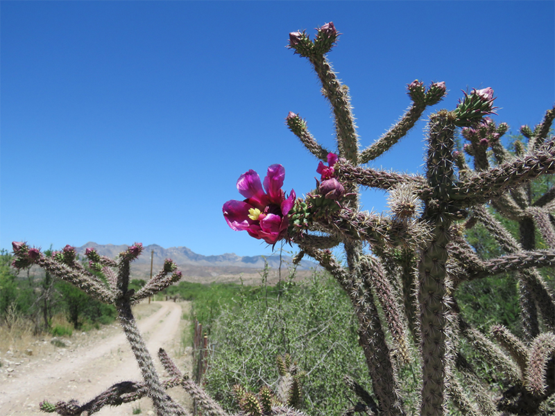 photo showing flowering cholla growing beside a long dirt road under a crystal clear blue sky