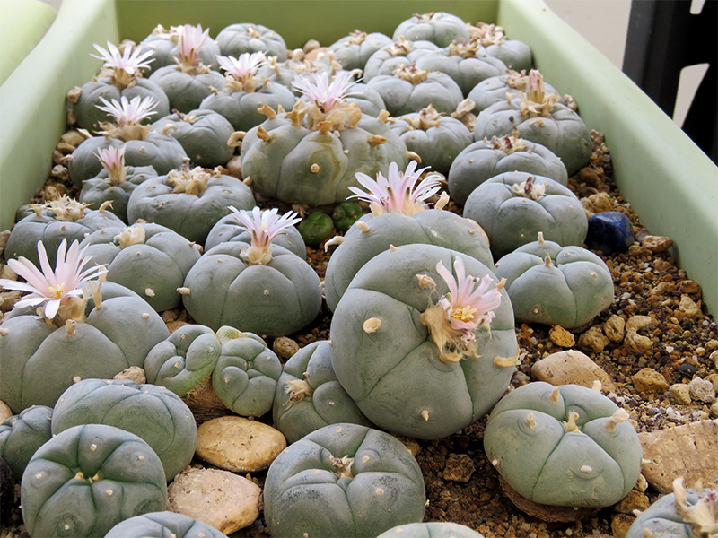 Photo showing many Peyote buttons growing in a cultivation tray
