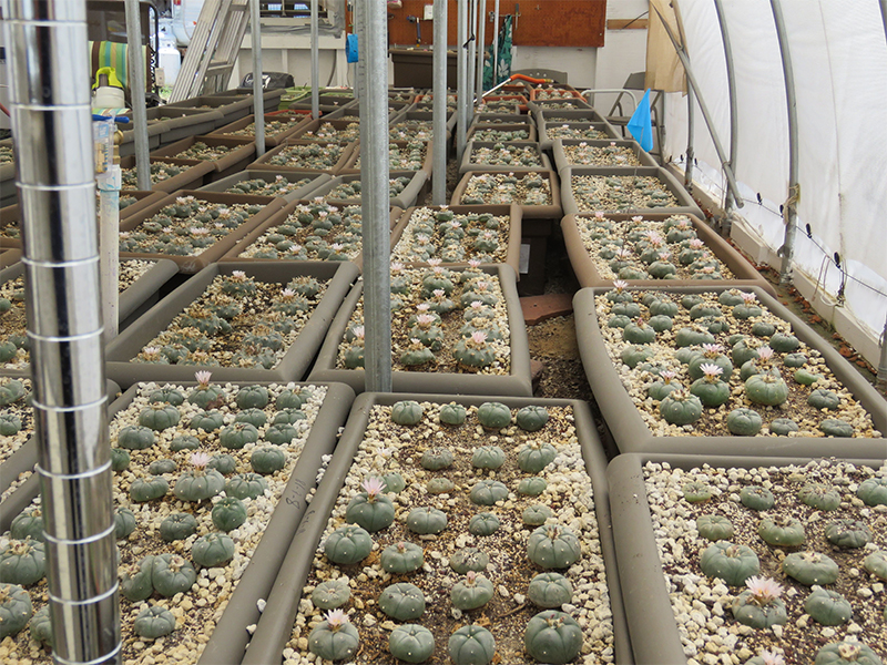 Photo showing Peyote growing in trays in greenhouse