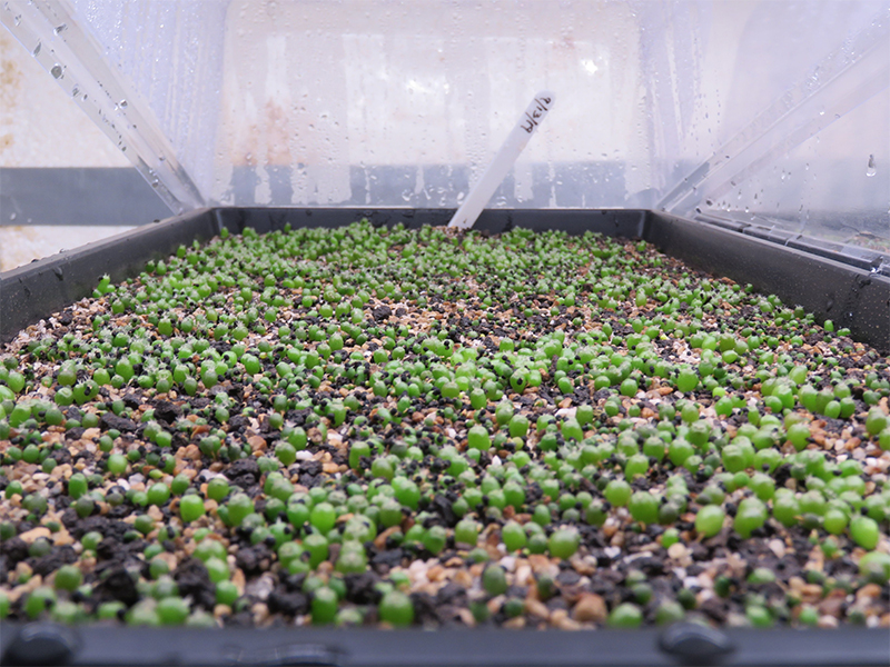 Photo showing a large bed of sprouting Peyote seedlings