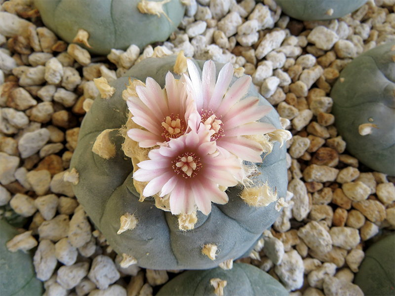 photo showing Peyote button sprouting three pink flowers
